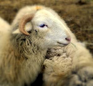 Mouton pour la laine bio des matelas no stress